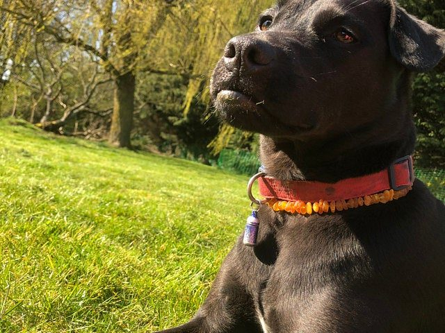 amber collar for ticks and fleas