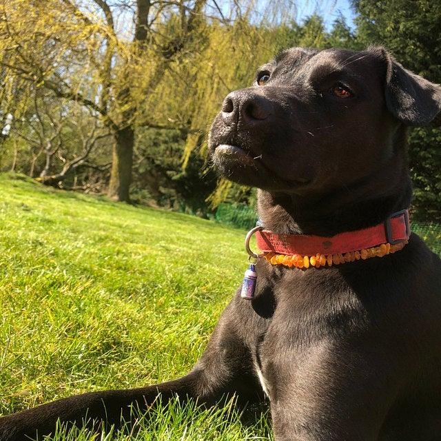 amber collar for ticks and fleas